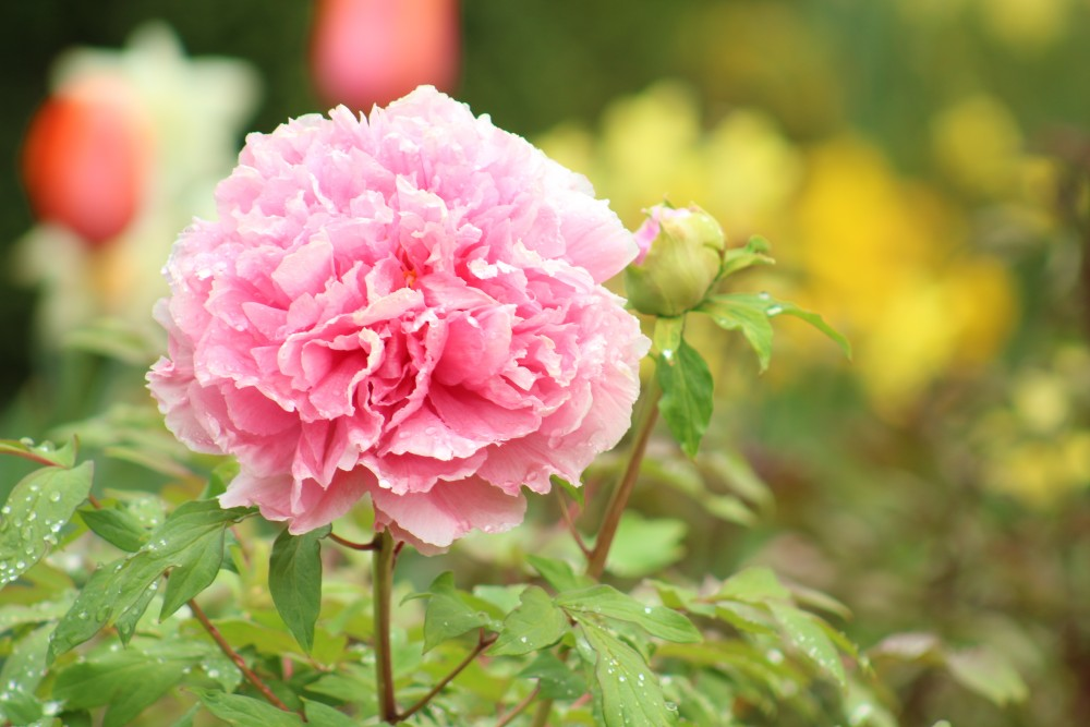 peony raspberry ice herbaceous peony spring bloom lewis ginter