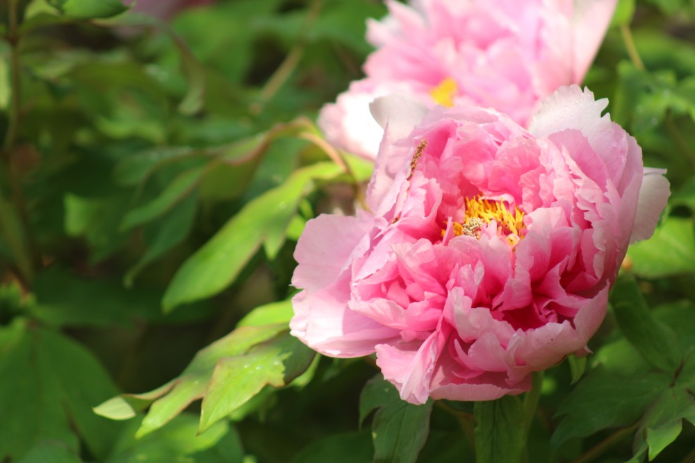 Pink tree peony, 'Iwata kagami' in the Asian valley, blooming in spring