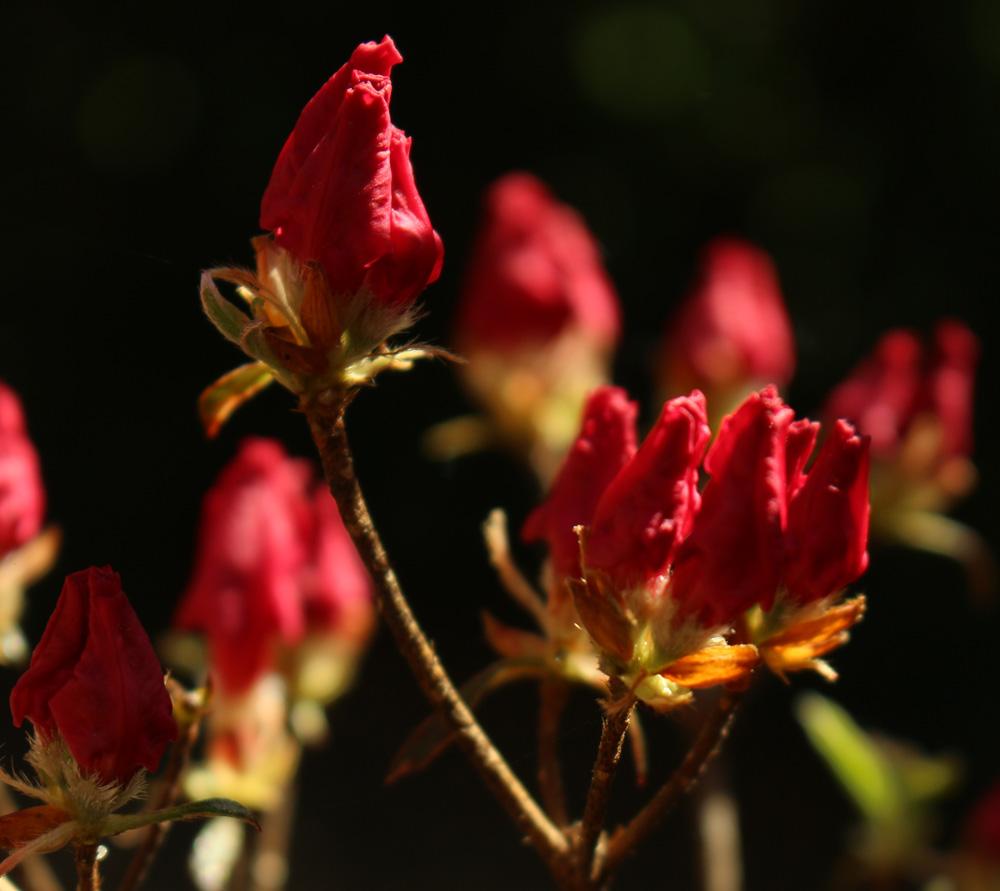 Rhododendron 'Christi Lyn' 1000