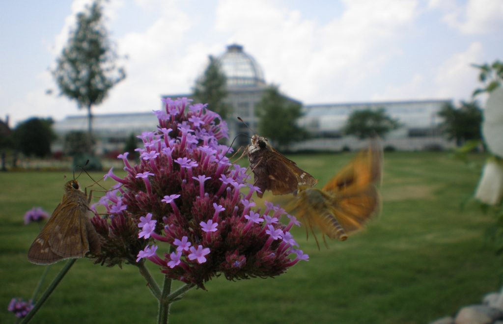 verbena bonarensis with skipper butterfly