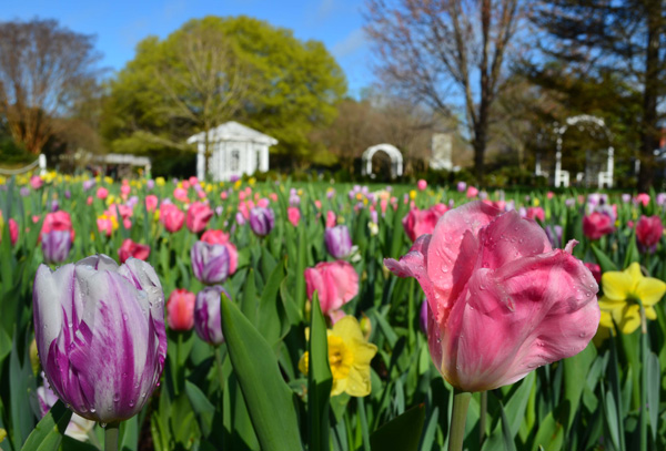 Tulips blooming at Lewis Ginter Botanical Garden, a top botanical garden in the US