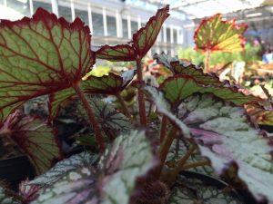 PlantFest begonia 1000