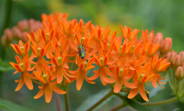 milkweed and insect