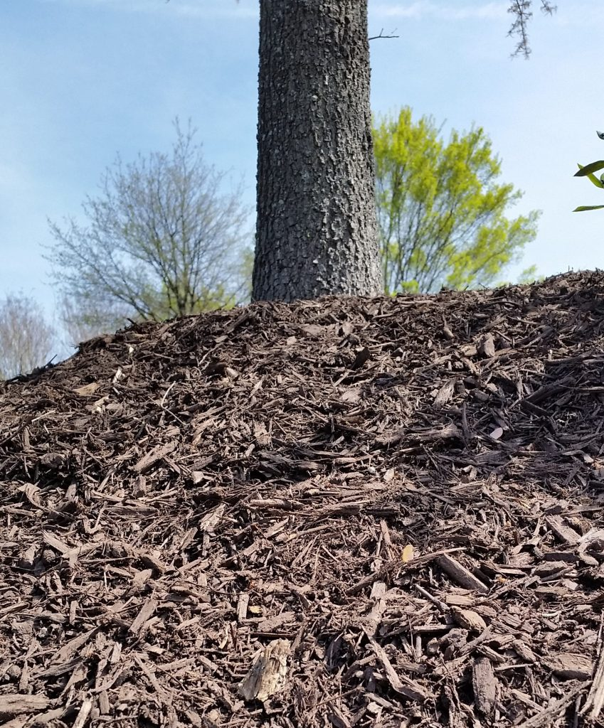A tree with excessive mulch piled high around its roots is called volcano mulching.