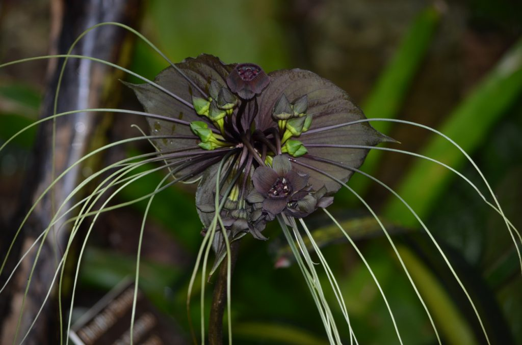 Black Bat Flower, Tacca chantrieri