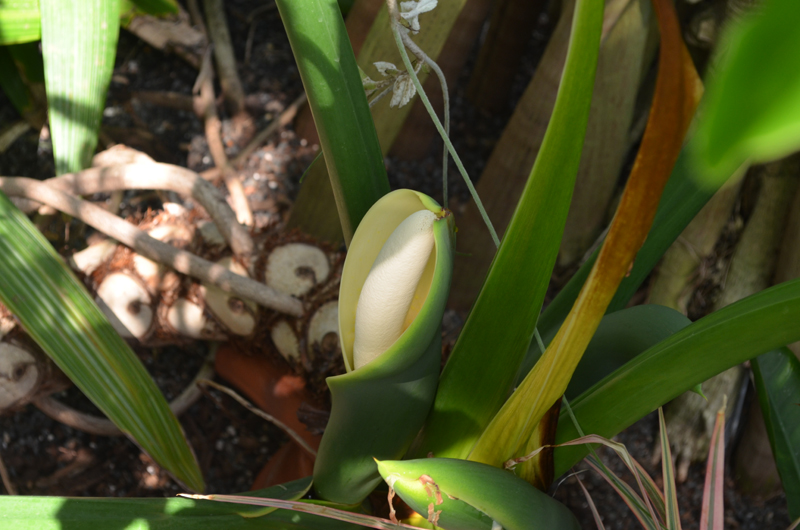 philodendron bloom open to show spadex