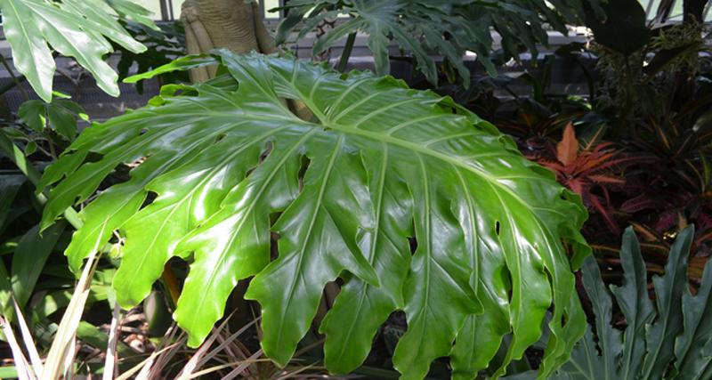 split-leaf philodendron leaf. philodendrons