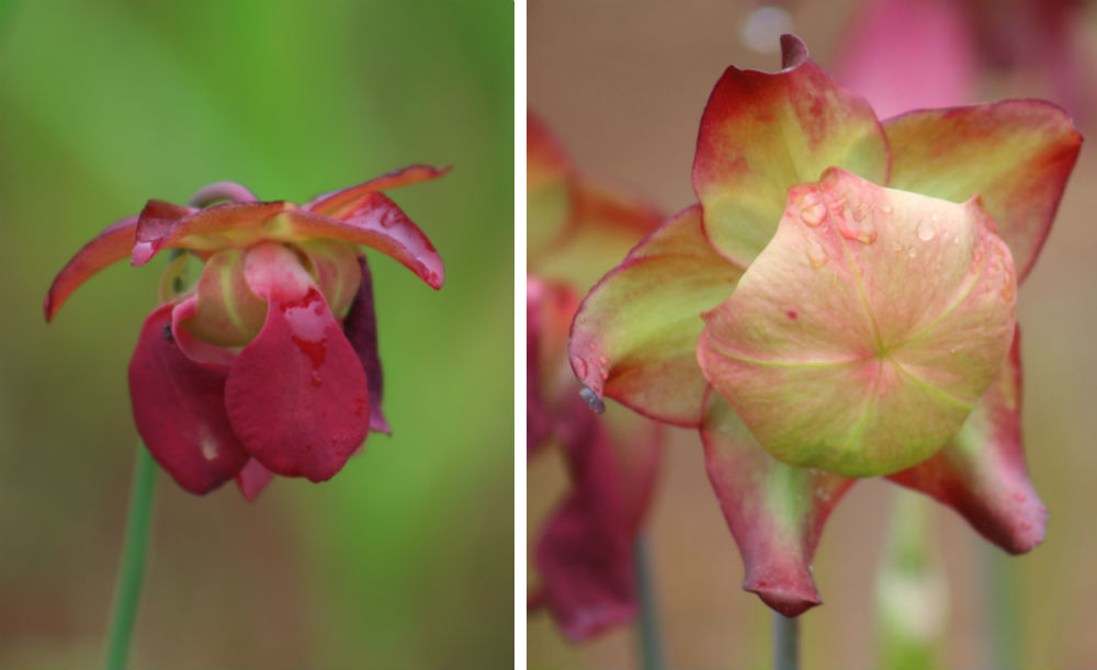 pitcher plant flowers droop down first then risen up