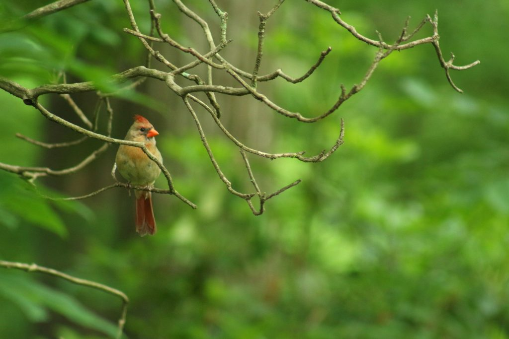 female cardinal on a branch -- but not at a birdfeeder