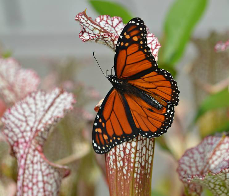 monarch and pitcher plants photo by Cathy Hoyt