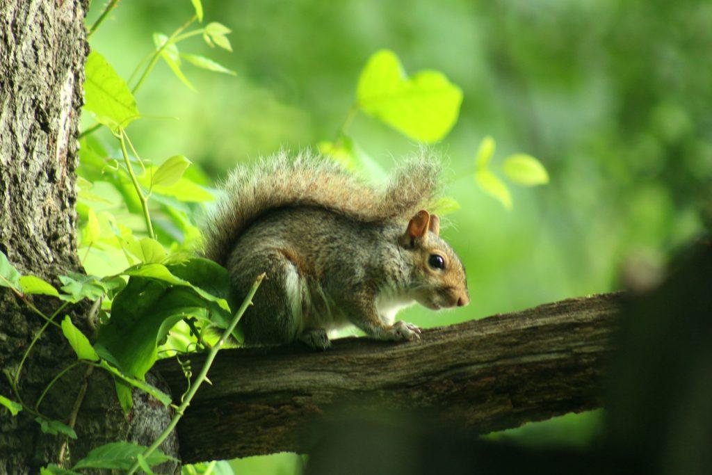 squirrel wildside walk