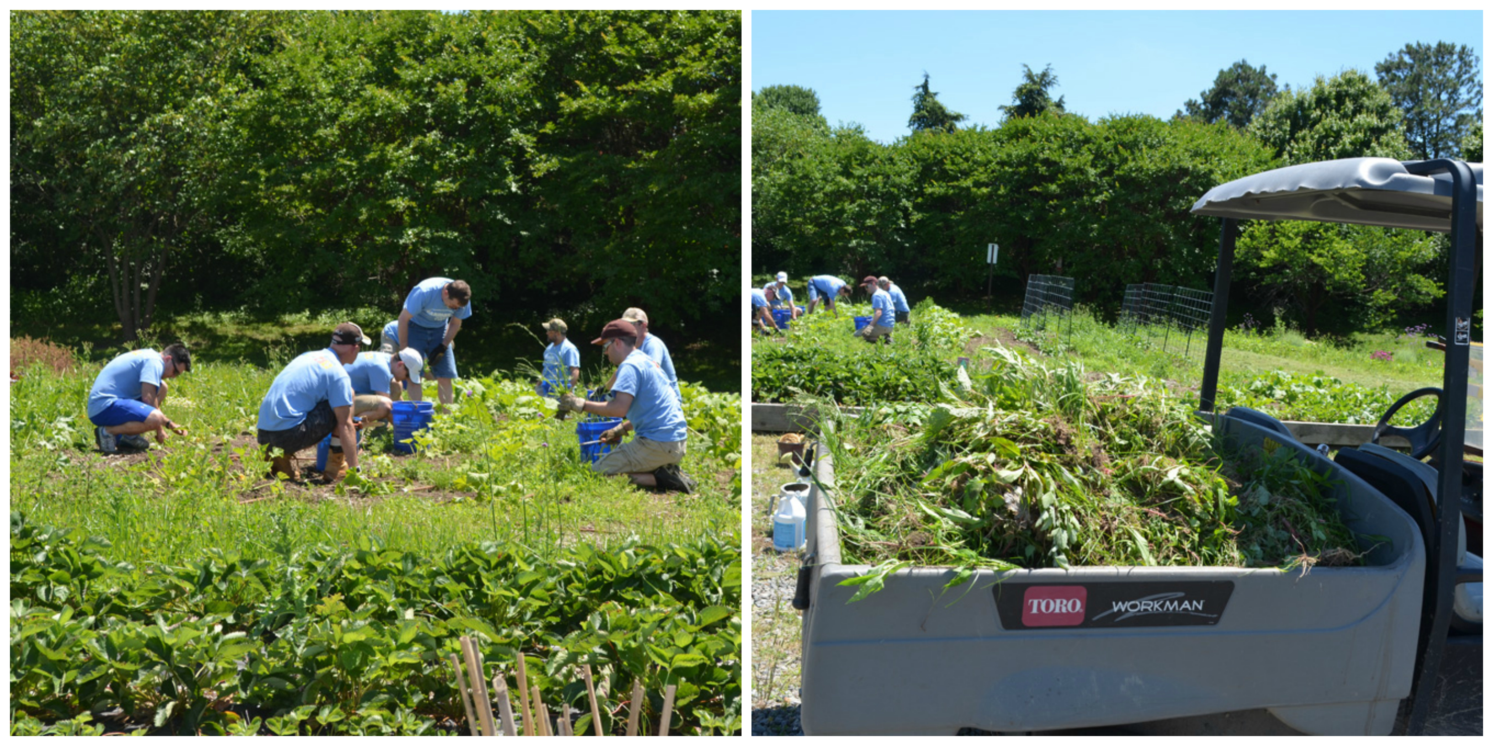 CarMax Associates weed in the CKG; CarMax Associates fill the back of a golf cart with weeds
