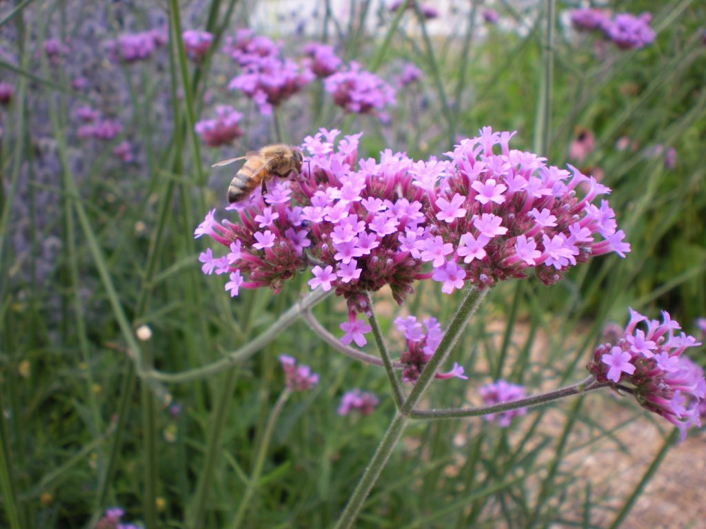 Honey Bee Pollinators on Verbena bonariensis