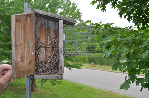house wren nest in a bluebird box at lewis ginter botanical garden