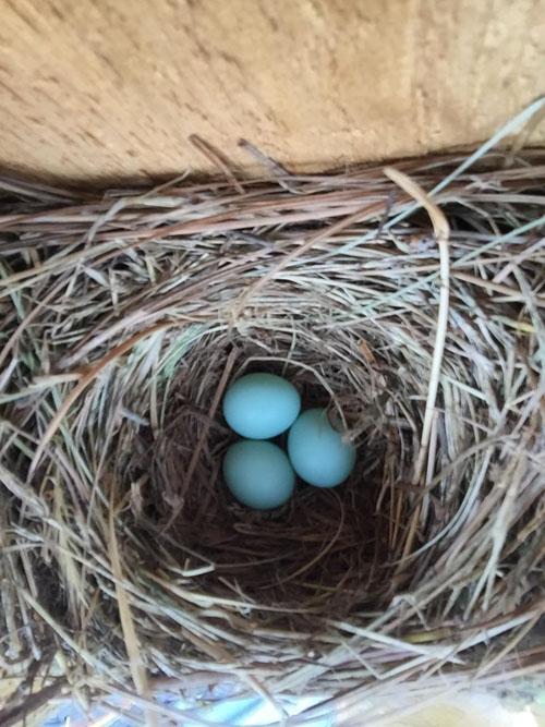 3 bluebird eggs in a bluebird box at lewis ginter botanical garden