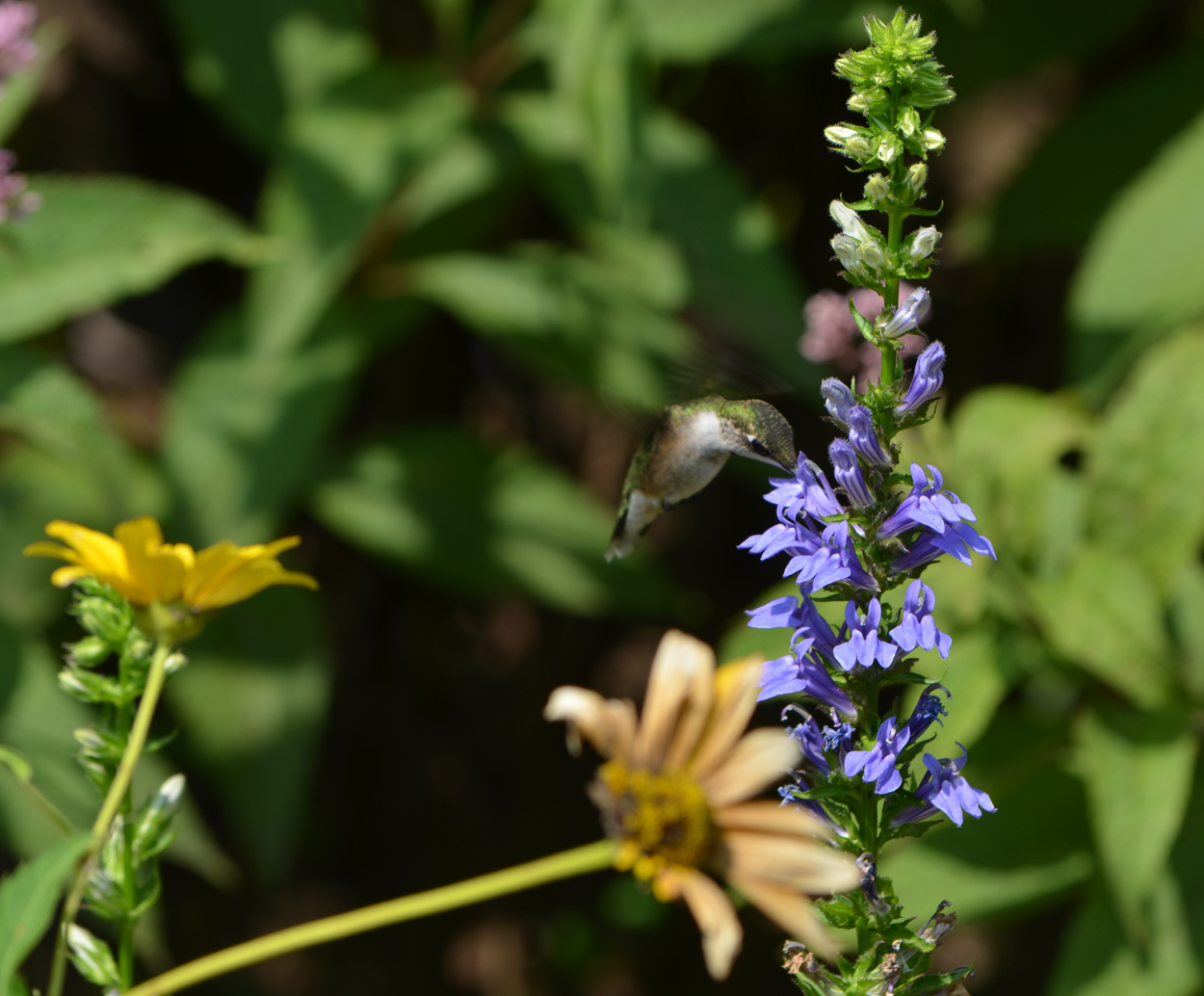 National pollinator week lewis ginter botanical garden a hummingbird drinking from and pollinating a blue cardinal flower photo by jonah izmirmasajfo Images
