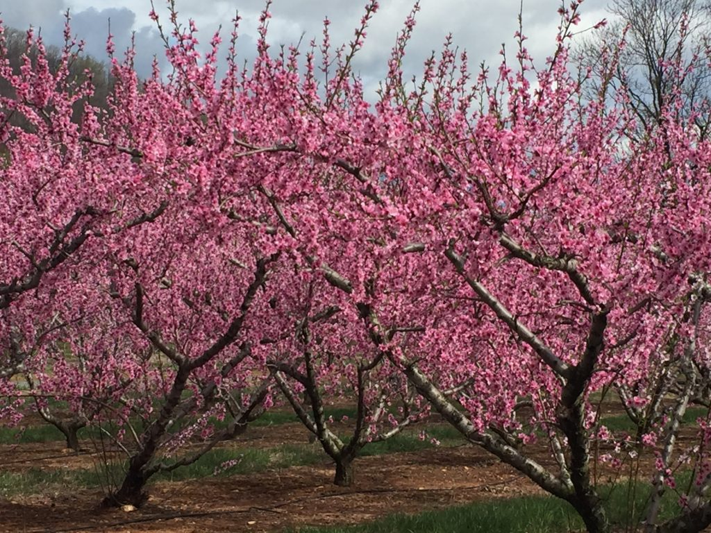 Peach trees have pink blossoms before they bear fruit.