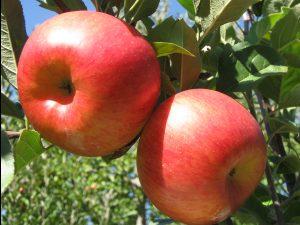 Apples ripen on a tree branch.