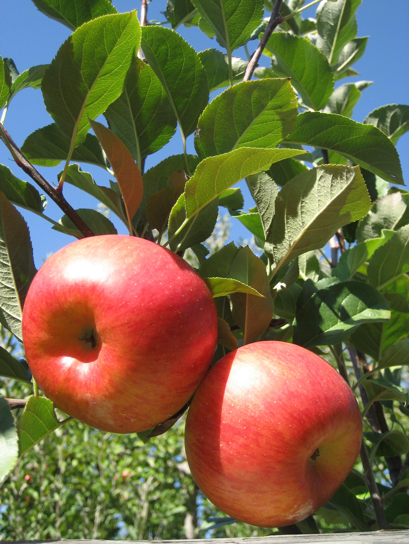 backyard orchards lewis ginter botanical garden
