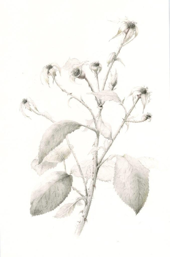 Botanical Illustration drawing class
