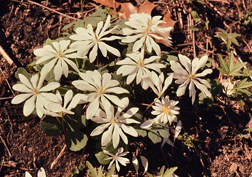 about 10 white flowers with yellow centers and green foliage on the ground, surrounded by autumn leaves. A vintage slide captured by Newton Ancarrow of wildflowers along the James River.