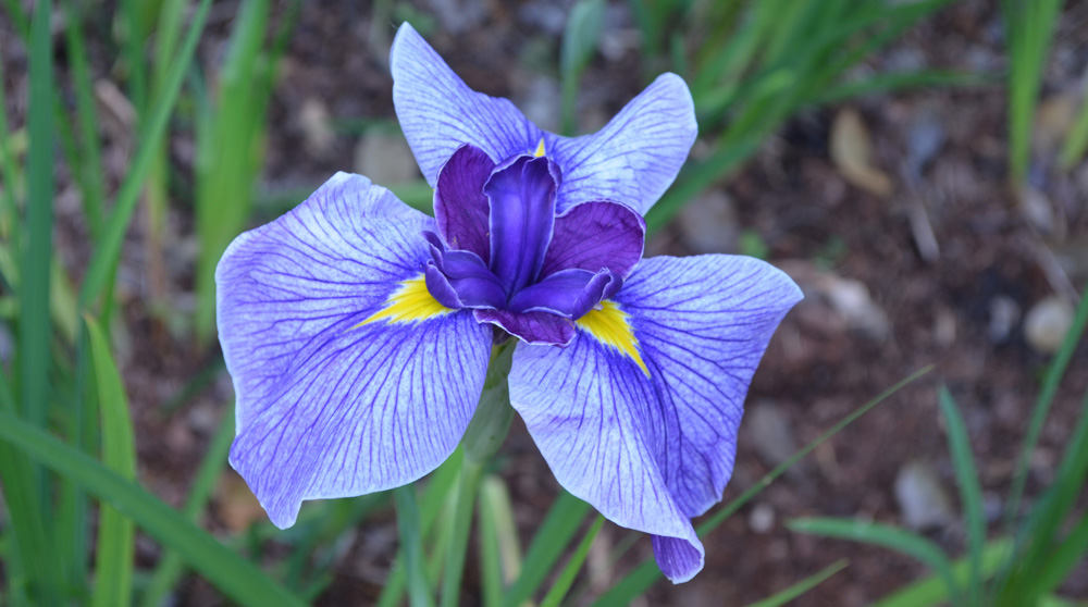 purple iris; Iris ensata