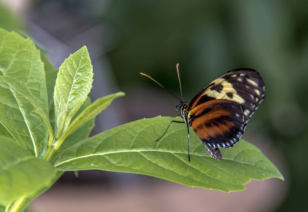 Longwing Butterfly by Don Williamson