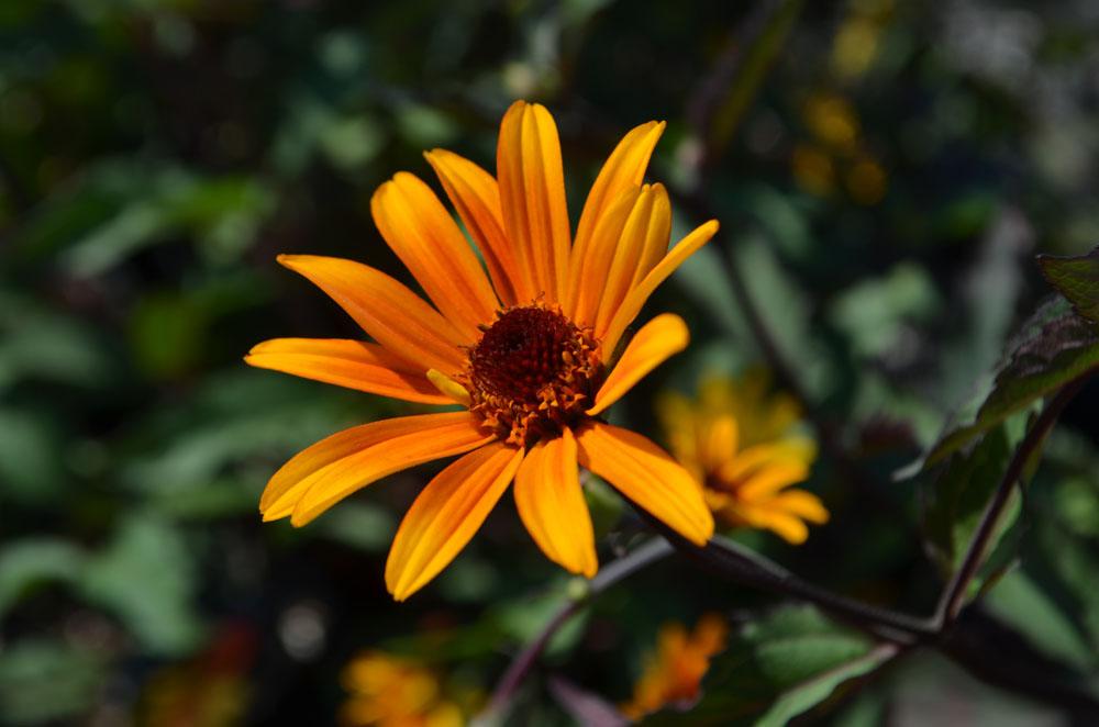 Heliopsis helianthoides 'Summer Nights' - False Sunflower