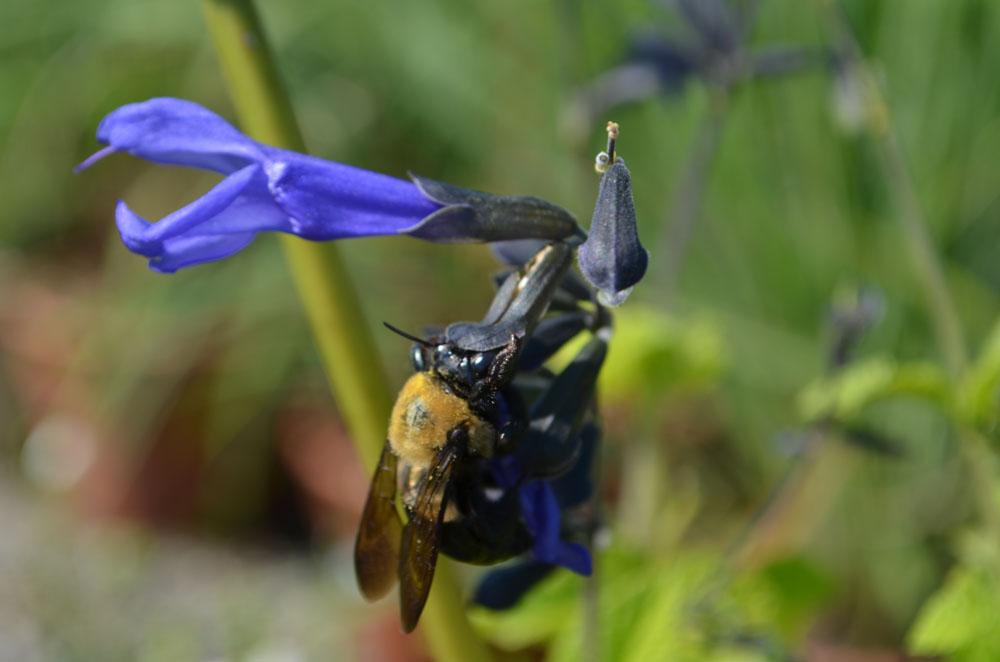 Salvia guarantica 'Black and Bloom PPAF'
