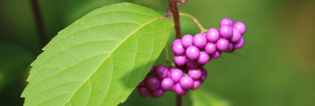 beautyberry, purple