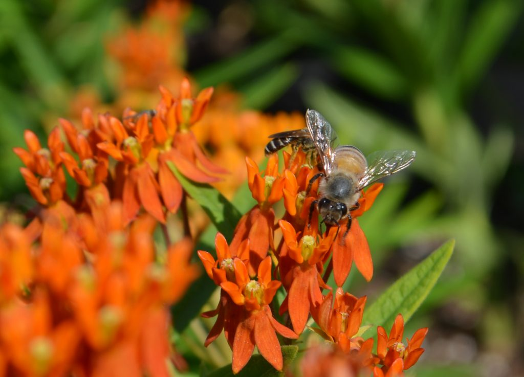 Bee on Asclepias tuberosa also known as butterfly weed or milkweed, is one of many productive native plants in Virginia. .