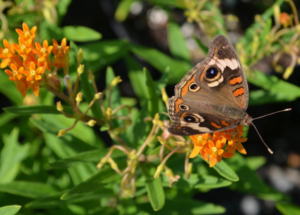 Buckeye Butterfly and milkweed