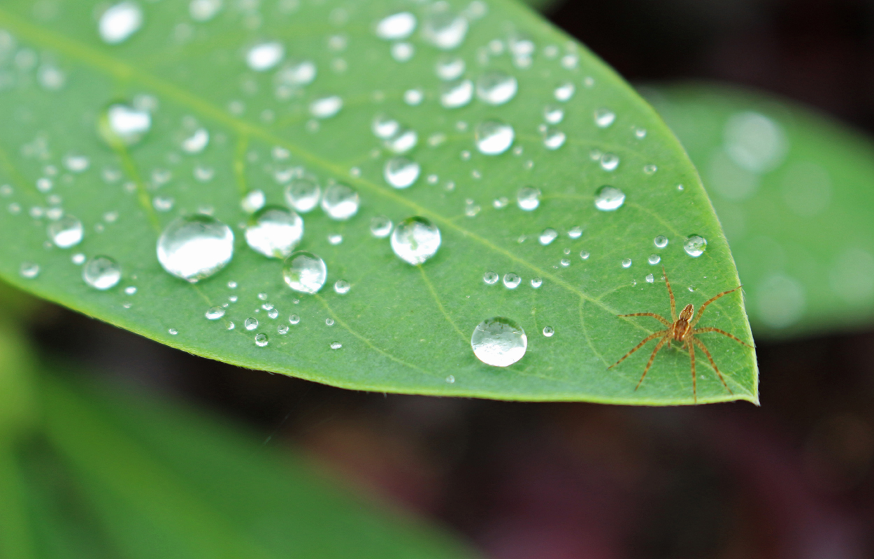 leaf with water drops, image by Tom Hennessy