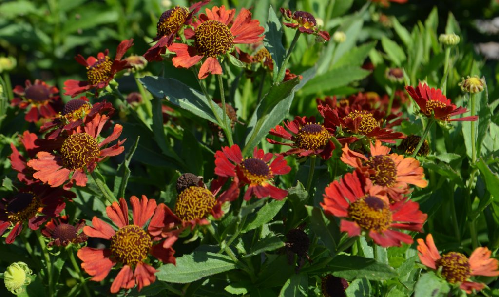Helenium autumnale Mariachi(TM) 'Salsa' - Flaming Sneezeweed one of the many perennials for sale at Fall PlantFest.