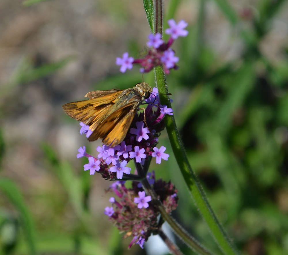 A skipper butterfly on Verbena bonarensis, another perennial you'll find at Fall PlantFest.