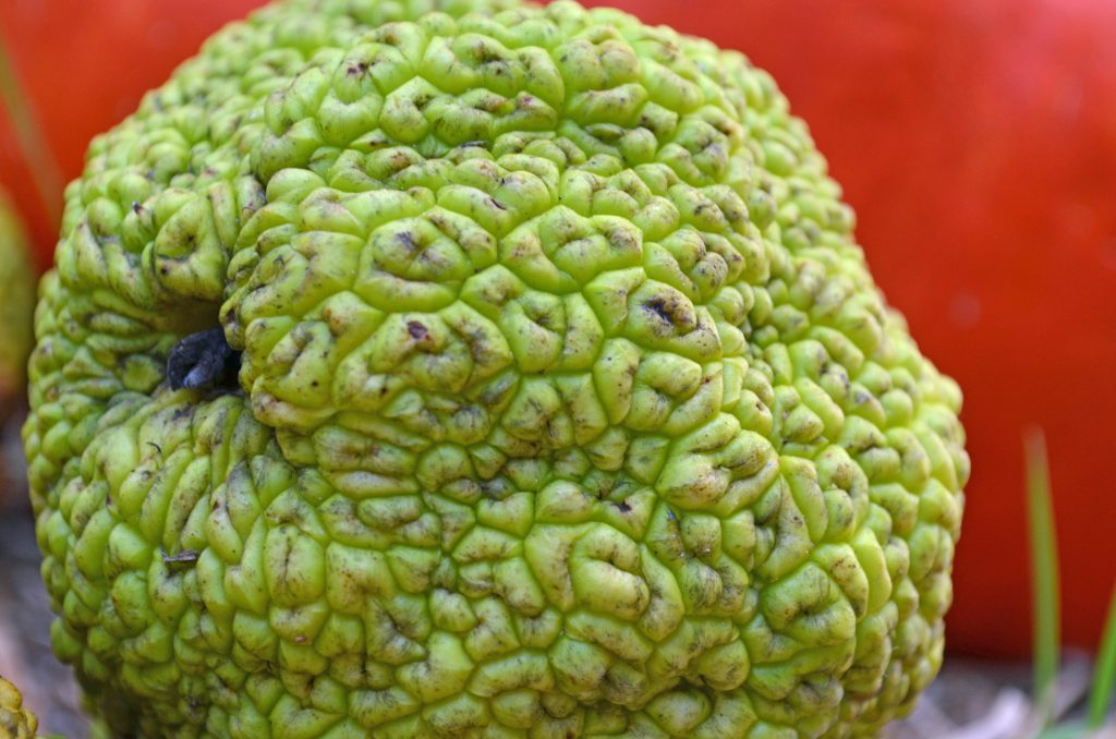 Osage orange with wrinkled exterior resembles brains.
