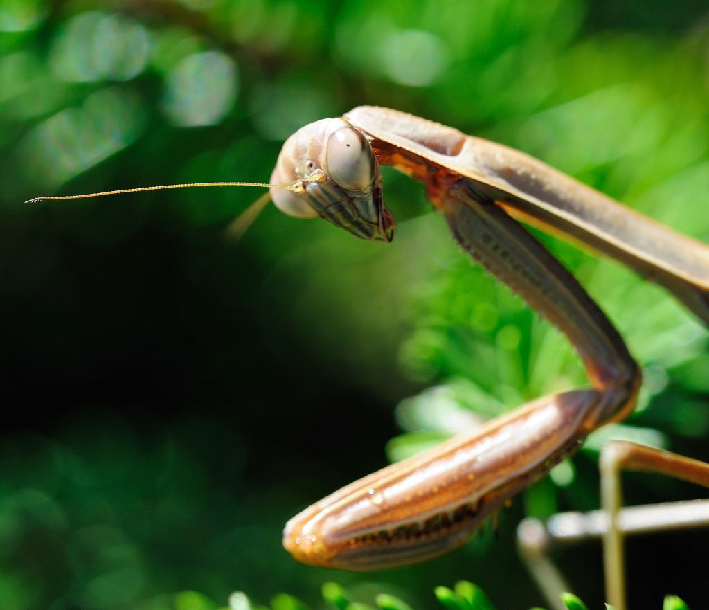 A praying mantis has odd features, resembling those of a science-fiction invader.