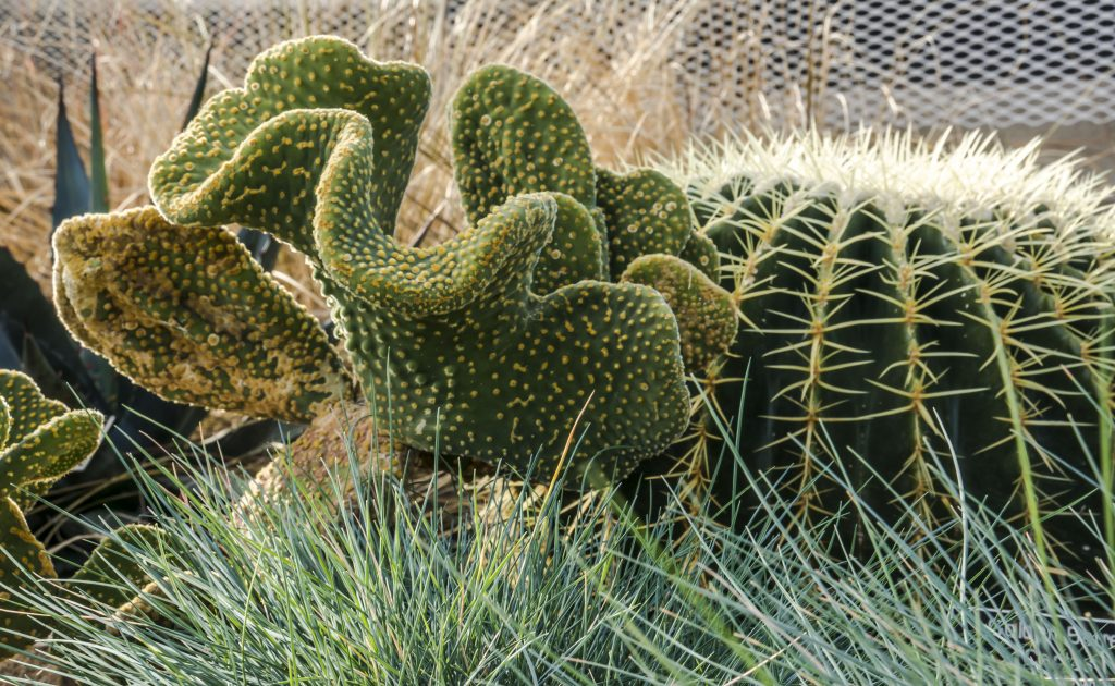 Bunny ears cactus looks like a creature crawling across the ground.