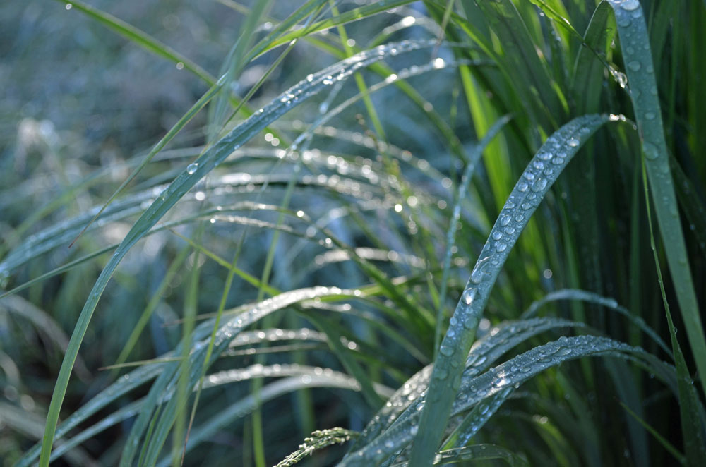 dewdrops-on-panicum-virgatum-north-wind-1000 for Forest Bathing, health benefits of nature