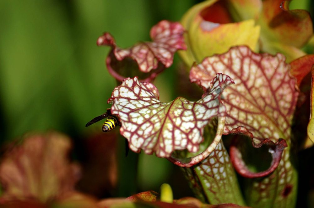 Wasp and pitcher plants. Photo by Laura Russell