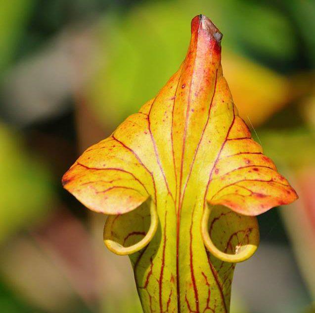 Pitcher Plant or Sarracenia