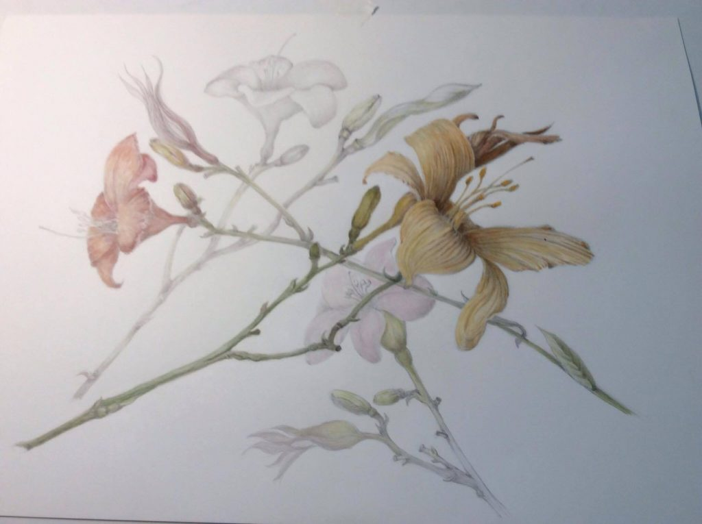 Frailing's stem study of lilies, graphite under watercolor, botanical art