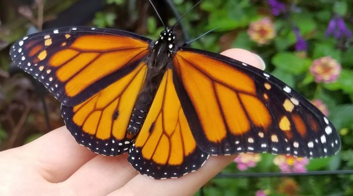 Orange and black Monarch butterfly