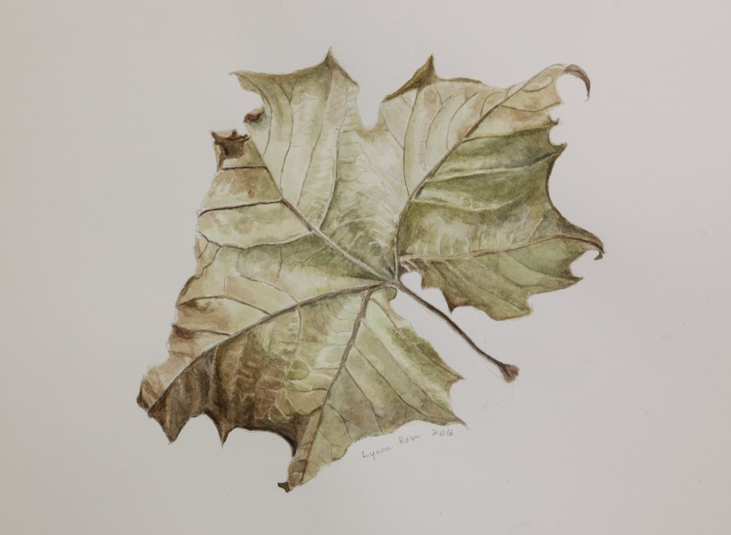 Frailing's study of a sycamore leaf, watercolor on arches acid-free hot press.