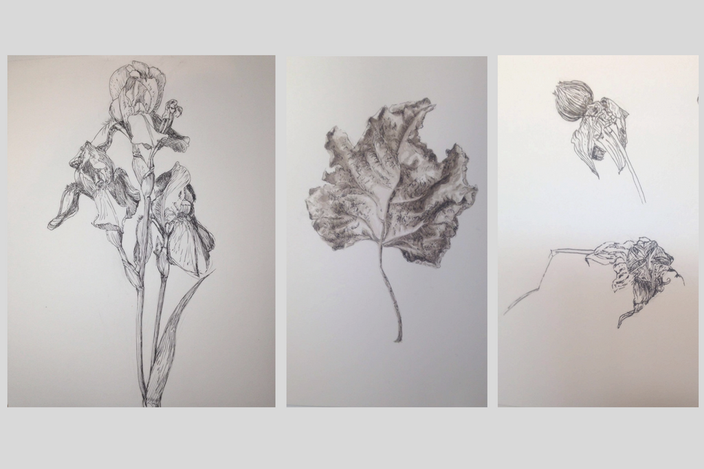 From left to right: Frailing's ink study of an iris, a fig leaf, and a flower bud. Botanical art