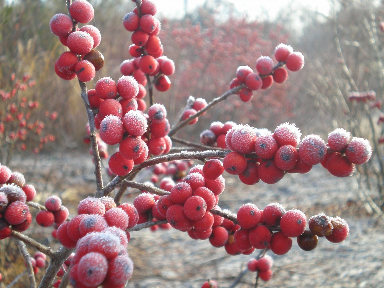 red berries with morning frost for Forest Bathing, health benefits of nature