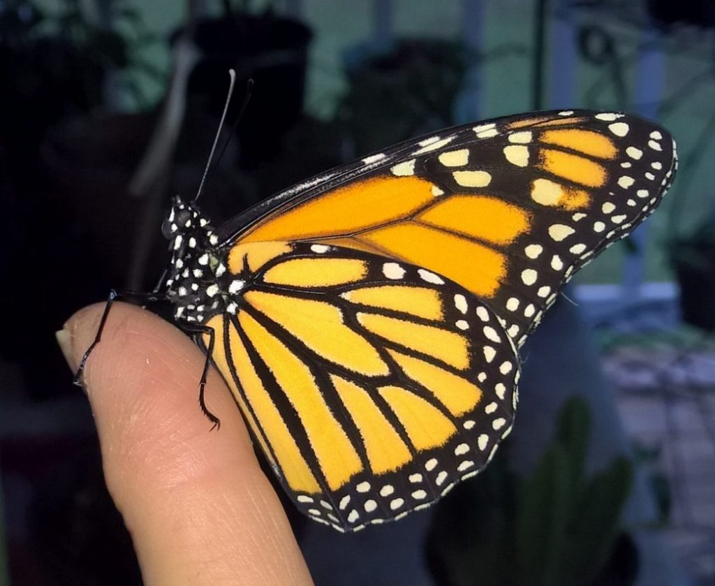 One of many monarchs from adopted from Fall PlantFest. Image by Patti Davis