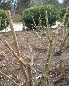 Rose Pruning 101