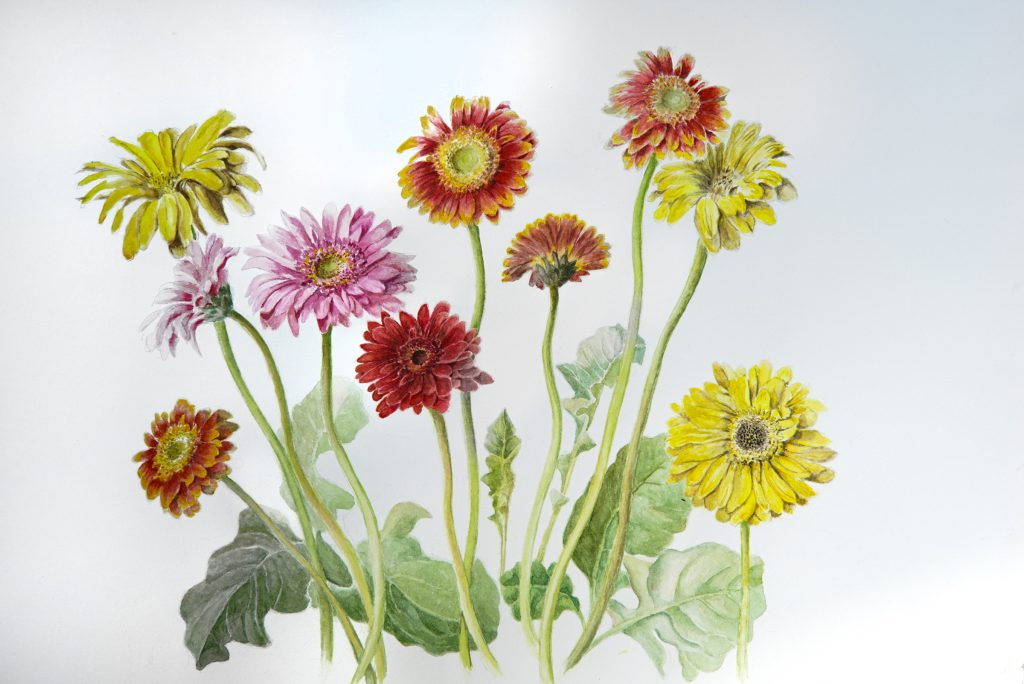 Frailing's botanical art featuring her Gerbera daisy collection, watercolor on arches acid-free hot press.
