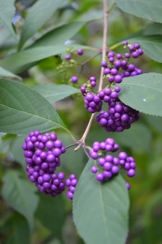 Callicarpa americana purple berries or beautyberry.